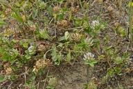 Trifolium glomeratum