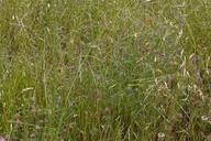 Vicia ludoviciana ssp. ludoviciana