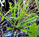 Microseris bigelovii