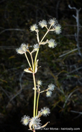 Galium johnstonii
