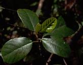 Frangula californica ssp. occidentalis