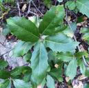 Quercus parvula var. tamalpaisensis