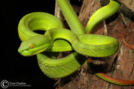 White-lipped Pit Vipers