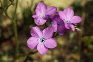 Gilia cana ssp. speciosa