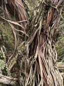 Adenostoma fasciculatum var. obtusifolium