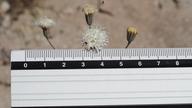 Chaenactis carphoclinia var. peirsonii