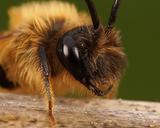 Andrena tibialis