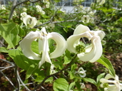 Cornus florida var. urbiniana