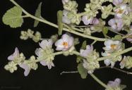 Malacothamnus fremontii