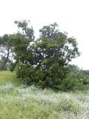 Acacia mearnsii