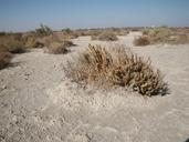Chloropyron palmatum