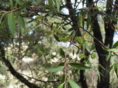 Salix bonplandiana