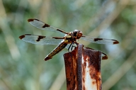 Twelve-spotted Skimmer (female)