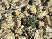 Boechera pygmaea
