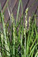 Carex divulsa ssp. divulsa