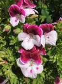 Pelargonium Xdomesticum