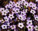 Gilia tricolor ssp. tricolor