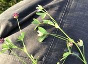 Trifolium depauperatum var. amplectens