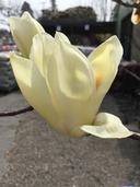 Magnolia acuminata x magnolia denudata