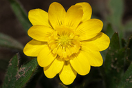 Ranunculus californicus ssp. californicus
