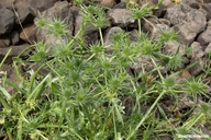 Eryngium vaseyi var. vallicola