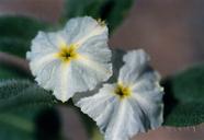 Heliotropium convolvulaceum var. californicum