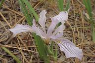 Iris hartwegii ssp. australis
