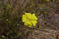 Crocanthemum suffrutescens