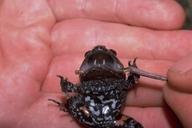 Полный цикл развития этих лягушек занимает 2,5-3 месяца.  Головастики окрашены в коричневый цвет и достигают.