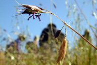 Danthonia californica var. californica
