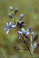 Chlorogalum purpureum var. reductum