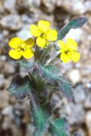 Camissoniopsis hardhamiae