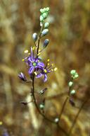 Chlorogalum purpureum