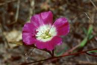 Clarkia speciosa