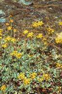 Eriogonum libertini