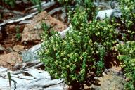 Galium hardhamiae