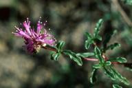 Monardella frutescens