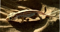 Flat-teil Striped Gecko