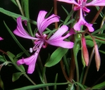 Clarkia concinna