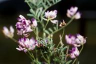 Astragalus rattanii