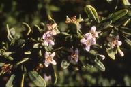 Lycium brevipes var. hassei