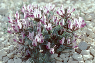 Astragalus funereus