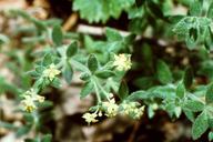 Galium californicum