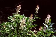 Corydalis caseana ssp. caseana