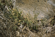 Galium glabrescens ssp. modocense
