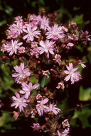 Stephanomeria blairii