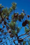 Pinus contorta ssp. bolanderi