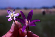 Brodiaea pallida