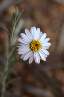 Corethrogyne filaginifolia var. linifolia