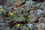 Eriogonum ternatum